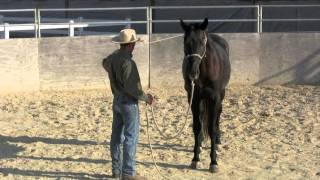 Groundwork basics with a 3 year old warmblood stallion