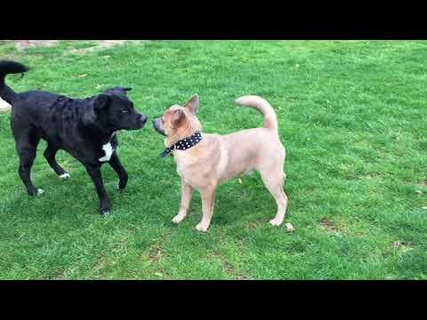 brindle pitbull vs husky mix lab vs chow chow mix pitbull