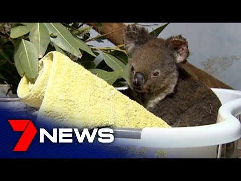 Port Macquarie Koala Hospital Caring For Koalas During The NSW Bushfire Crisis   7NEWS