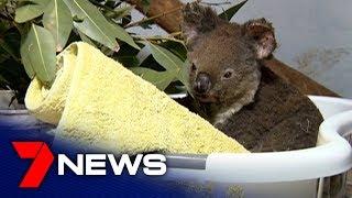 Port Macquarie Koala Hospital caring for koalas during the NSW bushfire crisis | 7NEWS