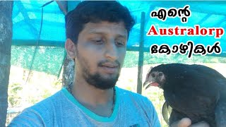 My Australorp chickens|എന്റെ australorp കോഴികൾ|kozhi farm|CJ Farm