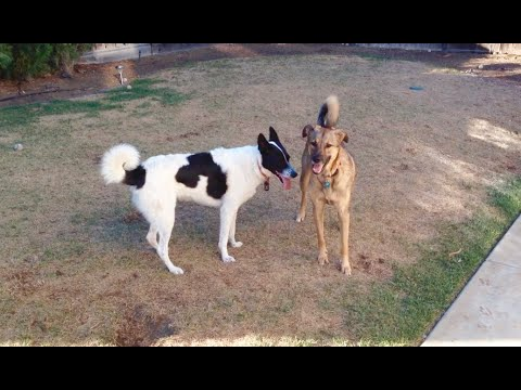 Belgian Malinois Mix and Karelian Bear Dog Mix Playtime