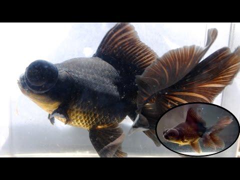 How To: Goldfish Growth | Telescope Update