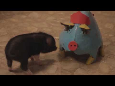 Piggy Tales 04 Mini Pot Belly Pig _Ebenezer_ funny tricks playing with dog cat micro pig
