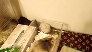 ペット用品店で売っていた猫用のおもちゃをラットに与えた。 シャカシャ...