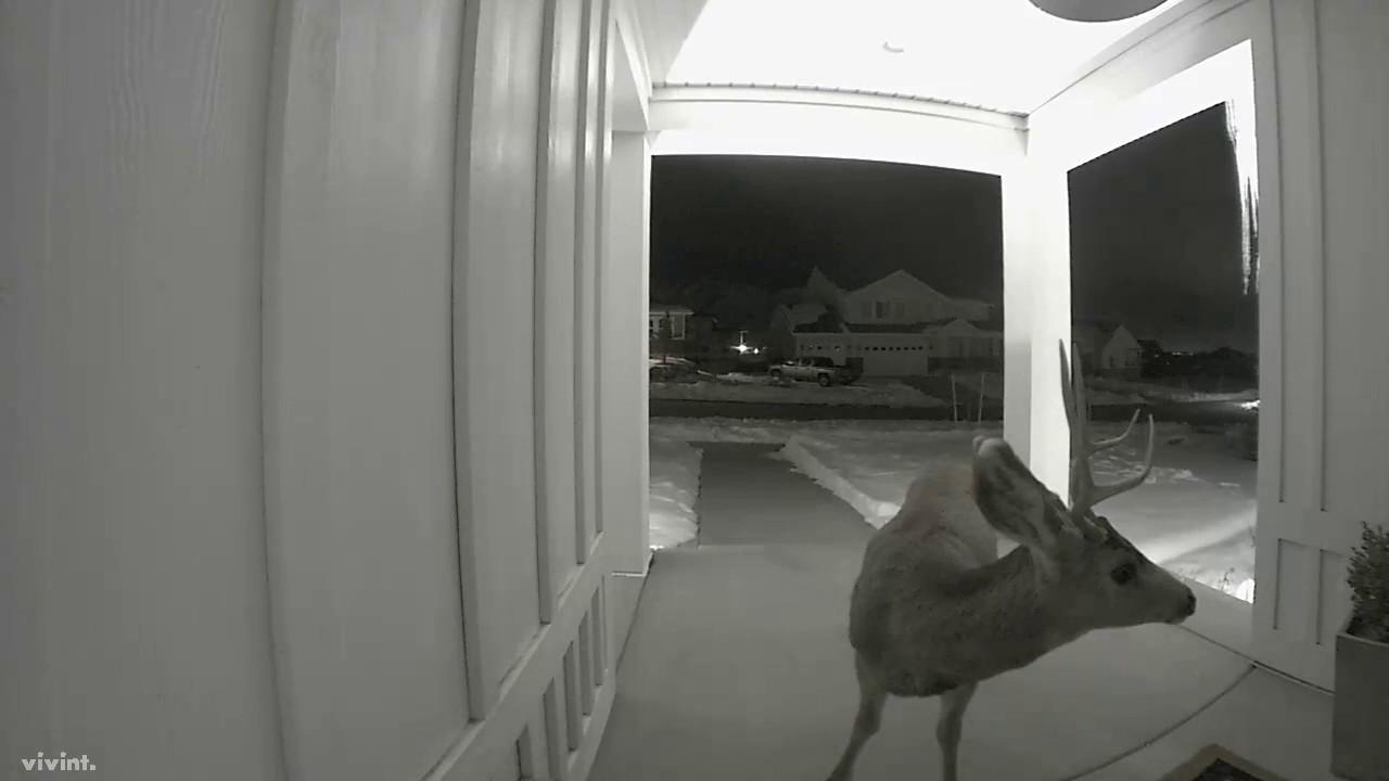 Deer on the Porch - Caught by Vivint Doorbell Camera