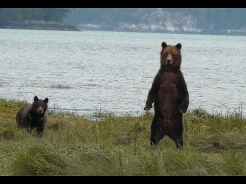 Grizzly bears tour with Tide Rip Vancouver Island Canada