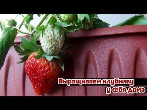 Выращивание садовой земляники: на видео посадка и уход