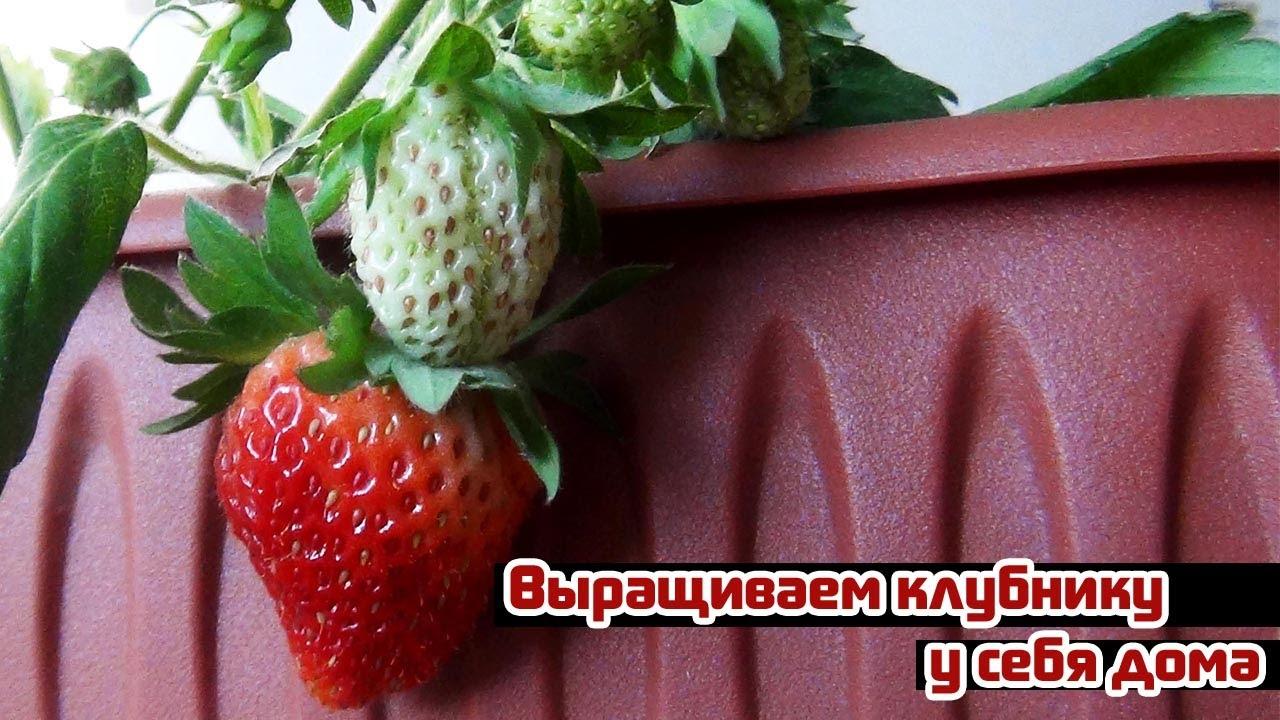 Видео о том, как ухаживать и выращивать клубнику у себя дома в горшочке (весенняя рассада)