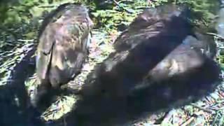 Humboldt Bay eagles,lunchtime at nest,7/25/13