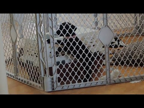 Puppy adorably escapes pen to join doggy friends