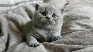 I am sweety. Cattery Calmcat British Shorthair