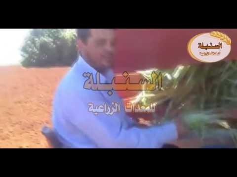 شاهد كيف يتم زراعة فاكهة الأناناس بالطرق الحديثة