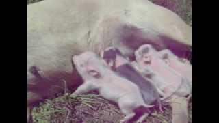 4 Petite Porker tcup micro nano piglets 4 weeks old 1-1.5lbs nursing on an English Mastiff