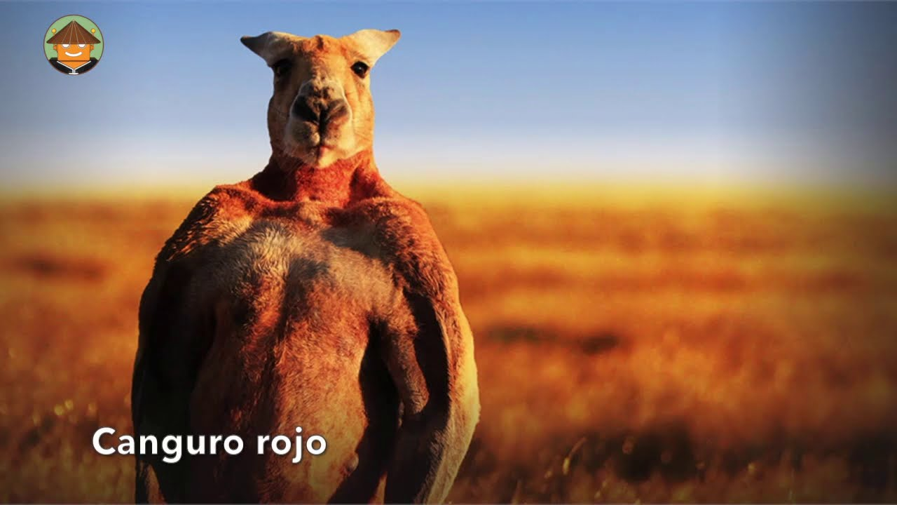Download Qué Pasa con los Canguros l Mini Documental