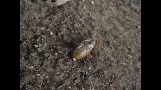 セミの幼虫が羽化の為地上へ。夏ですね。。。