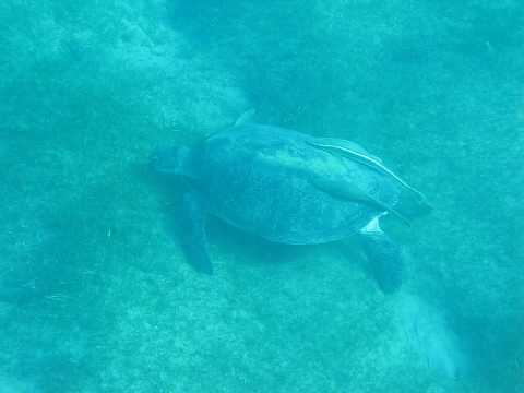 Gertrude the Green Turtle grazing on sea grass at Nuweiba
