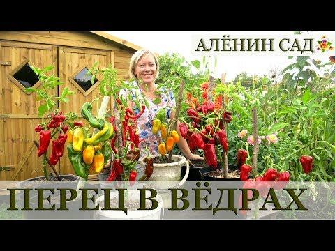 видео: Чудо как хорош! / Выращивание перца / Посадка и урожай перца