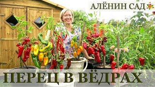 Чудо как хорош! / Выращивание перца / Посадка и урожай перца
