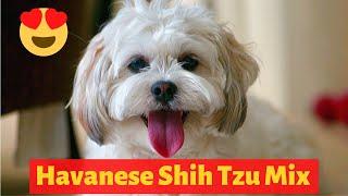 Interesting Facts about Havanese Shih Tzu Mix (Havashu)   Should you get a Havashu?
