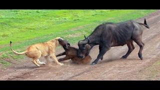 Lions hunting a buffalo in Serengeti NP, Tanzania : Amazing Planet