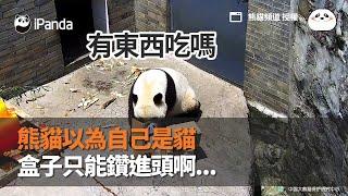 熊貓以為自己是貓 盒子只能鑽進頭啊...