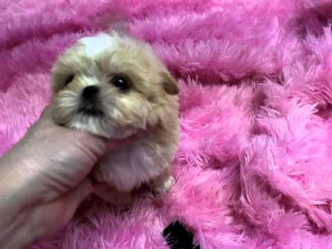 Imperial Shih Tzu Puppies Imperial Shih Tzu Puppies For Sale Youtube