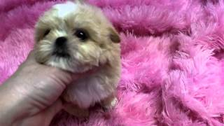 Imperial Shih Tzu Puppies, Imperial Shih Tzu Puppies For Sale Call 334-289-0682