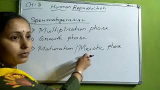 Class12. Ch3: Human Reproduction