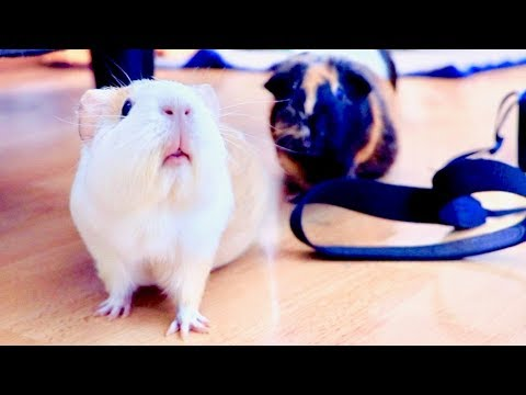 Guinea Pig Floor Time Vlog with SO Much Wheeking and Popcorning