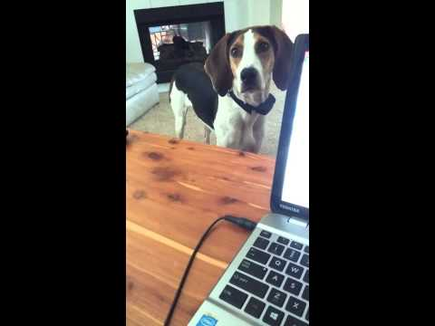 Coonhound talking while I am trying to work