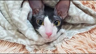 Sweet And Playful Cornish Rex : Корниш Pекс