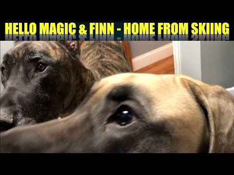HELLO MAGIC & FINN THE GREAT DANES - HOME FROM SKIING