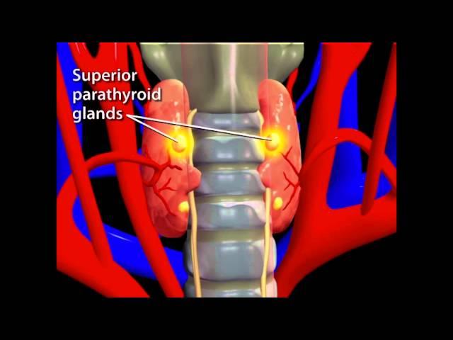 Thyroid Animation