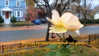 Autumn Rose - Poem by Mirela Athanas
