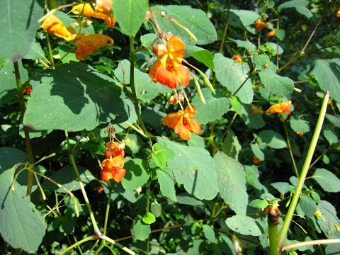 A little bit about Jewelweed and other stuff