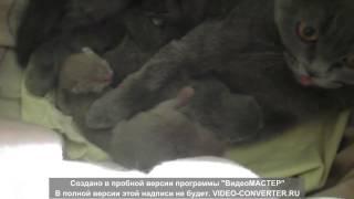 скоттиш фолд новорожденные котята