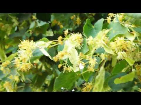 Посещение пчёлами цветение липы
