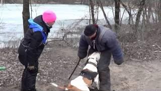дрессировка по защите американский бульдог Баста, занятия собакой защите