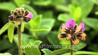 Flamingia gracitis in full bloom at Kaas Plateau of flowers