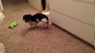 The Dachshund Shake