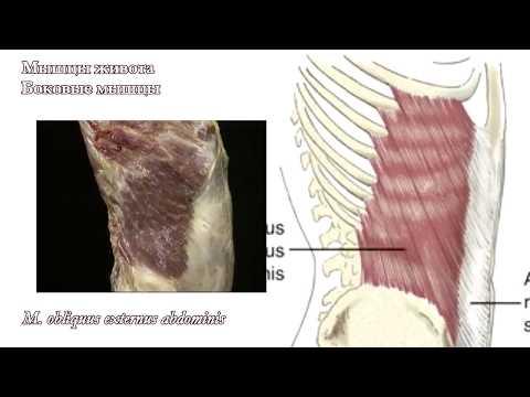 Мышцы живота: функциональная