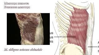 Мышцы живота: функциональная анатомия