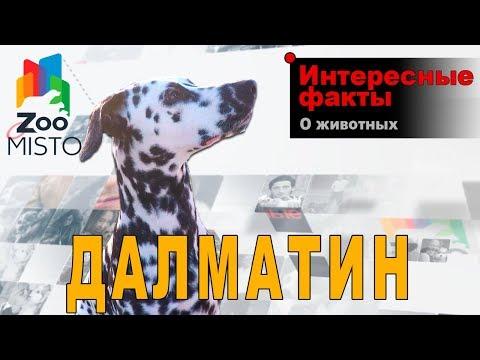 Далматин - Интересные факты о породе