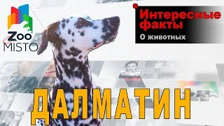 видео Далматин