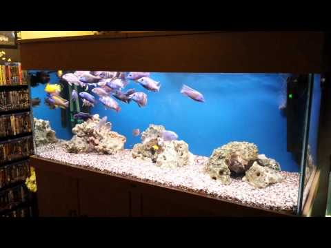 150 Gallon All Male  African Cichlid Tank Peacock.Haps.Labs