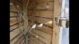 woliera dla kanarka, wpuszczanie ptaków do woliery