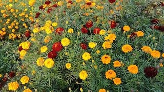 marigold flower information in Hindi || collect marigold seeds for next year