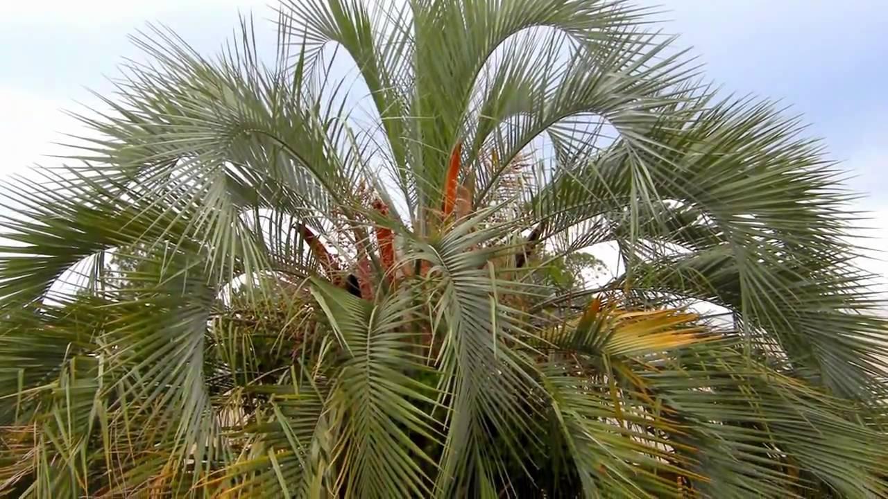 Pindo Palm Tree - YouTube