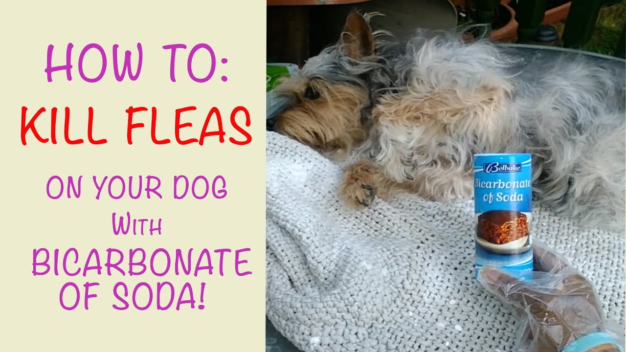 How To Kill Fleas On Dogs Using Bicarbonate Of Soda